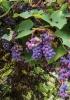 Toscana di uva e vendemmia: profumo d'autunno tra i vigneti