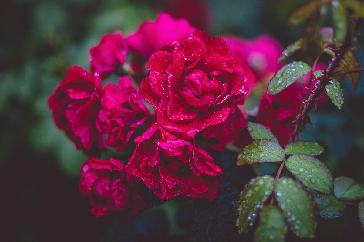 rose profumo rugiada essenze fragranze naso creatore di profumi