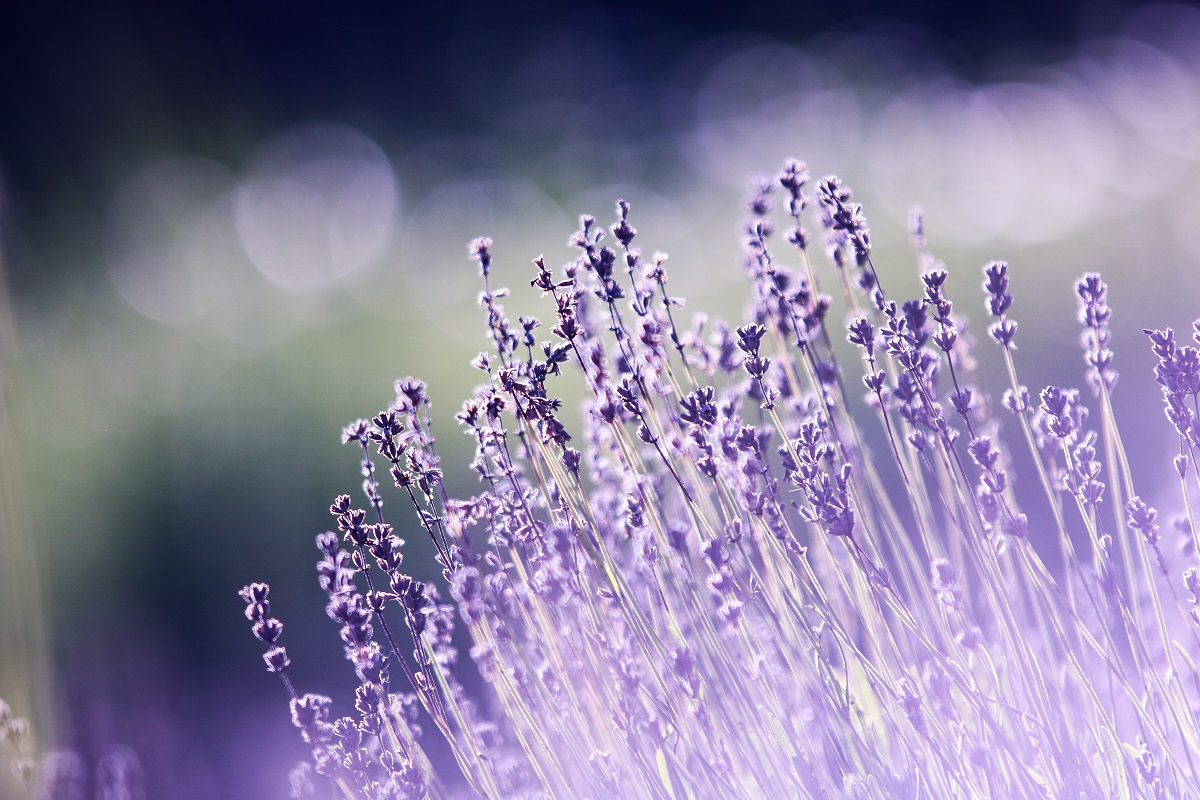 Lavanda famiglia olfattiva Aromatica profumi fiori